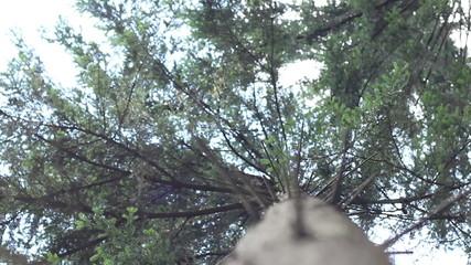 Coniferous Trunk View