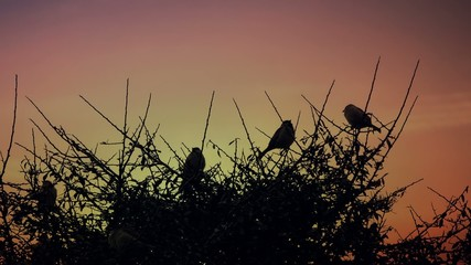 Sparrows on a branch during sunset.