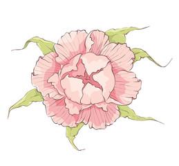 Flower -- Pink peony