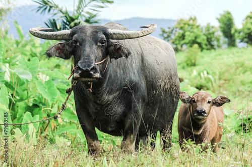 Fotobehang Buffel Water buffalo standing on green grass