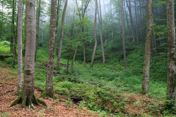 Beech forest on the slopes of the Carpathians