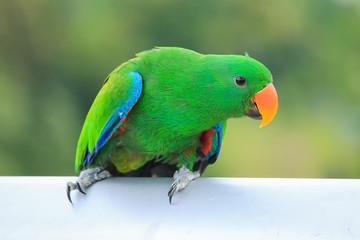 Beautiful of green eclectus parrots