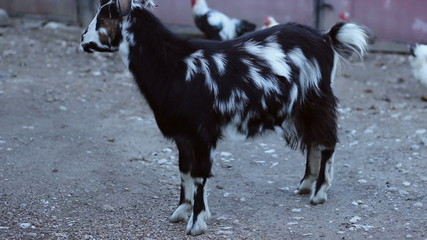 Goat in Countryside Farm