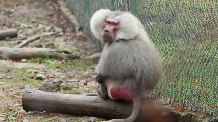 Grey Baboon