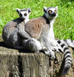 Ring tailed lemur couple