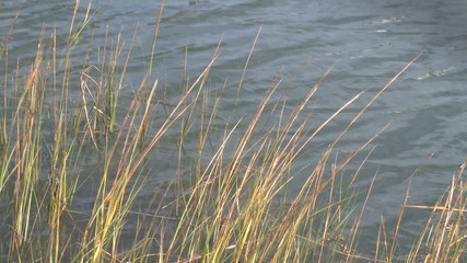 Sea grass waves in the water of New England