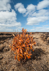 lone orange bush in a Peat bog