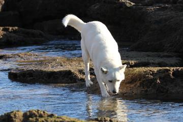 Weisser Hund im Bach
