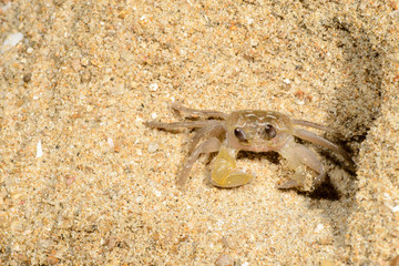 sand crab in the sands