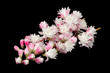 Fuzzy Deutzia Flowers on Black Background