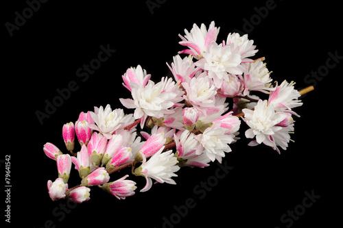 Fuzzy Black Background : Quot fuzzy deutzia flowers on black background stock photo