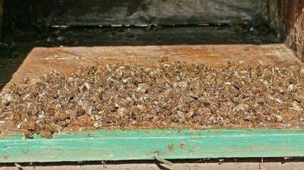 Dead bees at the bottom of the beehive board. Zoom in