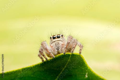 jumper spider - 79642199
