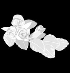 White roses isolated on black background