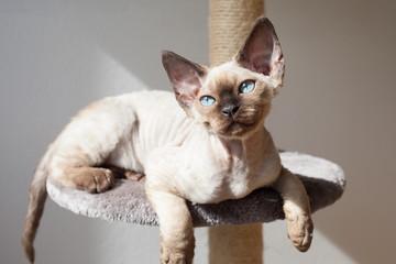 Beautiful devon rex cat sitting on the scratching post
