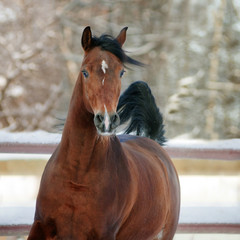 bay arab horse in winter