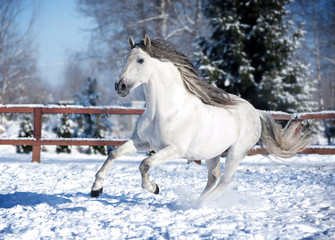 White andalusian horse in paddock