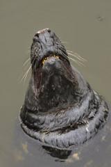 Comon Seal, Phoca vitulina