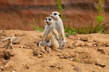 Meerkat Suricata suricatta with young