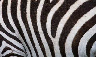 Fragment of zebra skin. Close-up.