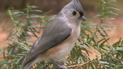 A small titmouse bird lands on the branch of a pine tree.