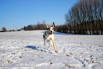 Deutsche Dogge hat Soaß im Schnee