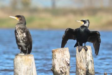 cormorani (Phalacrocorax carbo)