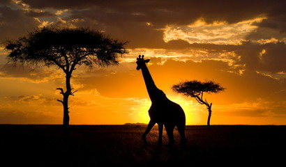 Giraffe at sunset in the savannah. Kenya.
