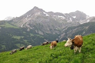 Grazing cows on a mountain meadow near Gstaad