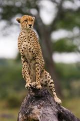 Cheetah on the tree.