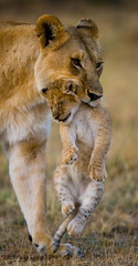 Lioness is in the teeth of his cub