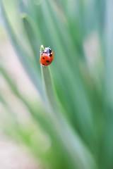 Ladybug at spring
