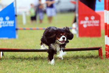 addestramento cane percorso con ostacoli