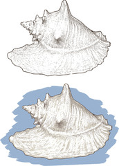 white seashell