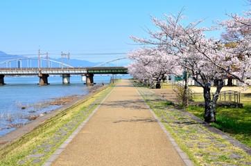瀬田川の桜