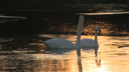 A pair of swans float around a pond as the sun sets.