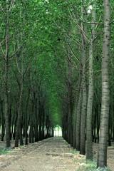 bosco foresta filari di alberi ad alto fusto