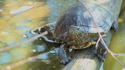 An eastern box turtle is perched on a log. The second scene is of the turtle losing it's balance and falling into the water.