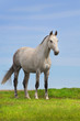 Grey horse stand