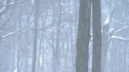 Winter storm in the woods