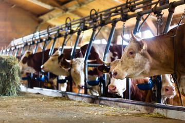 Kühe im Kuhstall fressen Heu