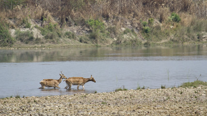 Swamp deer crossing river in Bardia, Nepal
