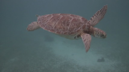 Green Sea Turtle Endangered