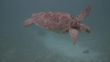 Green Sea Turtle Endangered