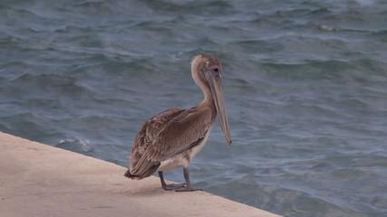 Caribbean Brown Pelican Mexico