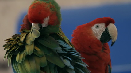 Macaws Grooming And Playing