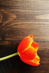Tulip flower on wooden background