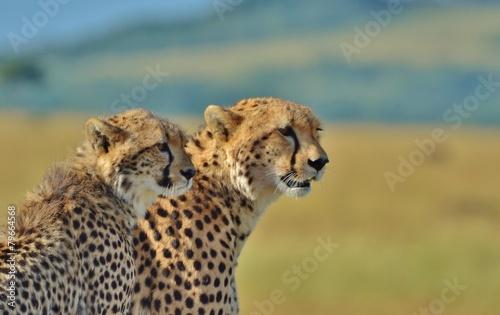 Fotobehang Luipaard Cheetahs in the Serengeti