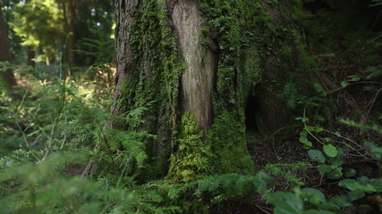 Pacific Northwest Moss Covered Tree
