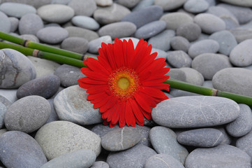 Red gerbera with bamboo grove on pebbles